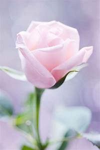 170 best images about Beautiful Roses! on Pinterest ...