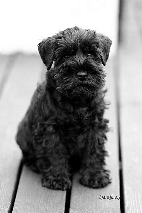 AAAAWN. | Mini schnauzer puppies, Schnauzer, Schnauzer puppy