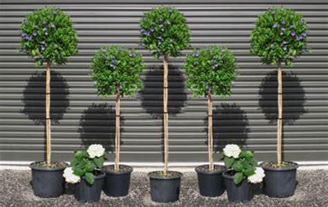Standards Of Excellence Solanum 'rantonnetii