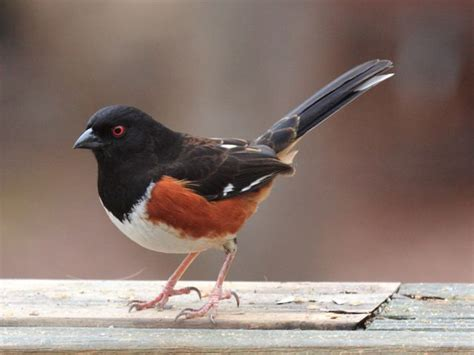 eastern towhee song quot drink your tea hee hee hee hee