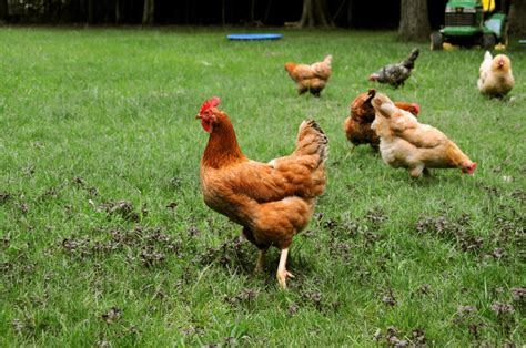 Chick Flic » Your Own Backyard Chickens And Coop