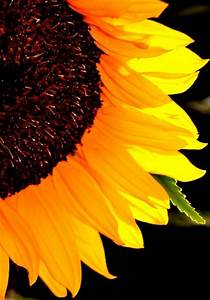 macro sunflower photo   Autumn's Splendor   Pinterest