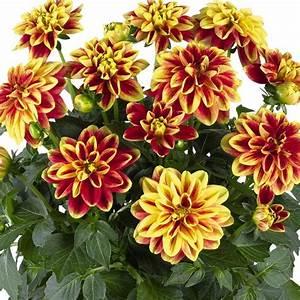 Dahlinova, U00ae, California, Decorative, Dahlia, Plant