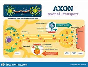 Axon Vector Illustration  Labeled Diagram With Explanation