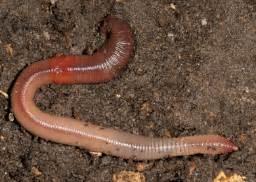 Regenwürmer Kaufen Garten : wir haben w rmer ihr online shop f r kompostw rmer ~ Lizthompson.info Haus und Dekorationen
