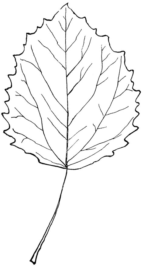 genus populus  aspen poplar clipart