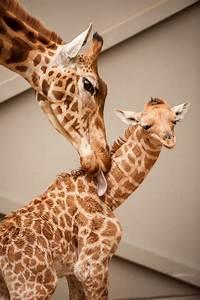 New, Giraffe, Calf, Is, A, U2018momma, U2019s, Boy, U2019