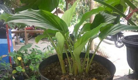 Jahe bisa tumbuh dengan baik di iklim tropis seperti indonesia. Cara Budidaya Porang Di Lahan Terbuka, Hasilkan 176 Juta Sekali Panen