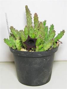 Plante Succulente Espèces Représentatives : huernia planter et entretenir ooreka ~ Nature-et-papiers.com Idées de Décoration