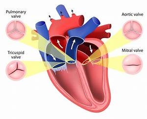 Functionality Of Heart Valves