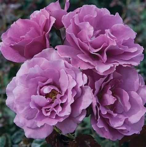 angel face rosa floribunda angel face regan nursery