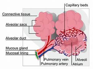 Frog Alveoli Diagram