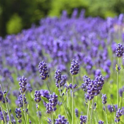 lavender soil ph how to grow lavender in texas field of flowers lavender and flower