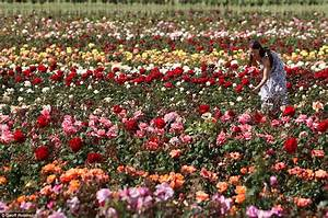 Drought Leaves Meadows Of Roses And Lavender Blooming