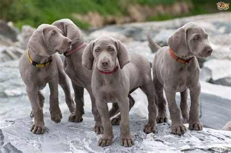 Dogs That Dont Shed Weimaraner by Weimaraner Breed Information Buying Advice Photos