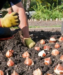 Quand Planter Le Muguet : quand doit on planter les bulbes de tulipes cycle de vie ~ Melissatoandfro.com Idées de Décoration