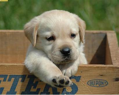 Pets Animals Fanpop Animal Puppy Labrador Lab