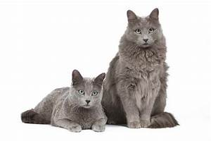 Site De Discussion : association internationale du chat russe tout pour les chats russe ~ Medecine-chirurgie-esthetiques.com Avis de Voitures