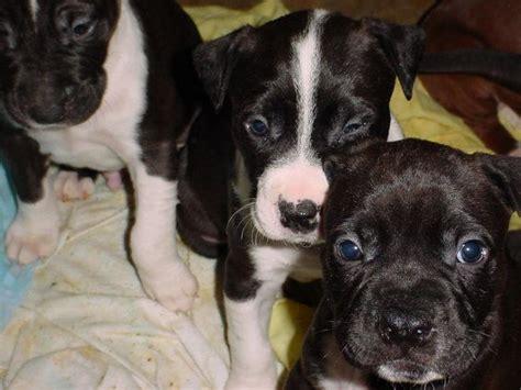 cute puppy dogs black  white pitbull puppies