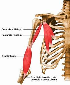 Anatomy Of Muscles Flashcards by ProProfs