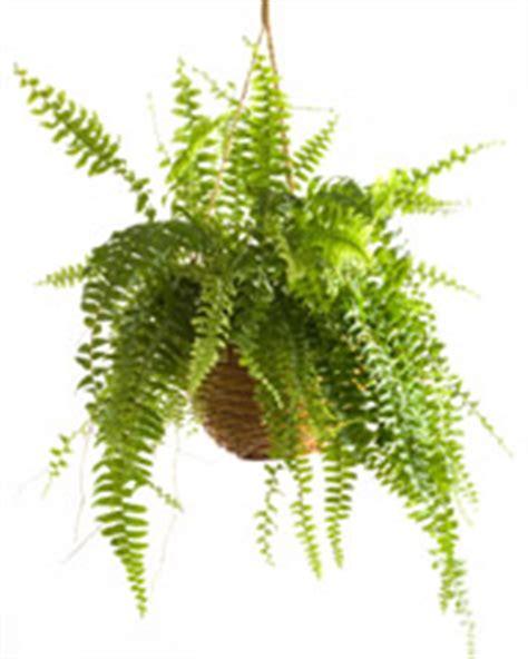 plantes de bureau sans soleil liste plantes tombantes