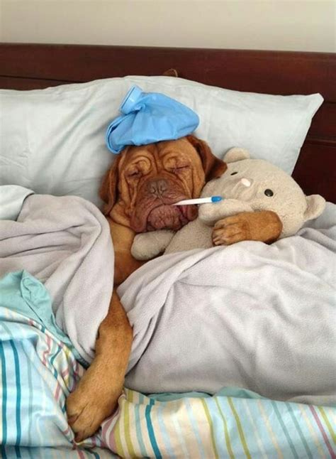 Sick In Bed Meme - 6 pups who feel as sick as a dog