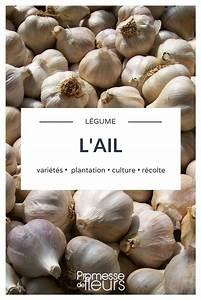 Culture De L Ail : l 39 ail le planter le cultiver le r colter au potager jardin potager permaculture jardins ~ Melissatoandfro.com Idées de Décoration