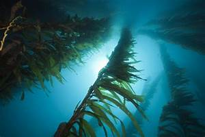 Not All Giant Kelp Populations Will Respond To Ocean Warming In The Same Way