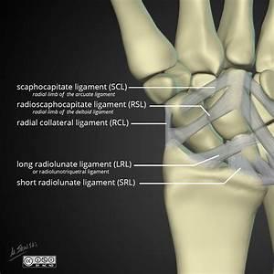 Wrist Anatomy  Extrinsic Ligaments