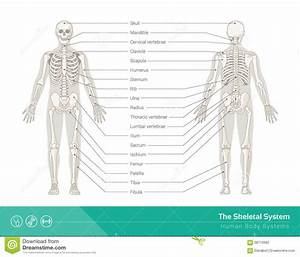 The Skeletal System Stock Vector