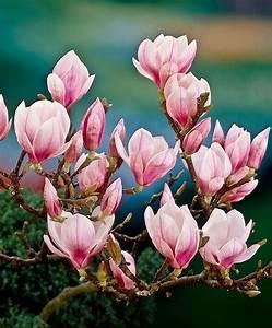 Magnolie Im Topf : kaufen sie jetzt baum magnolie kaufen ~ Lizthompson.info Haus und Dekorationen
