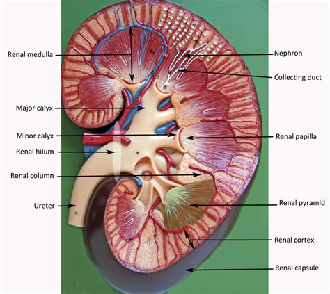Labeled Kidney Model Anatomy
