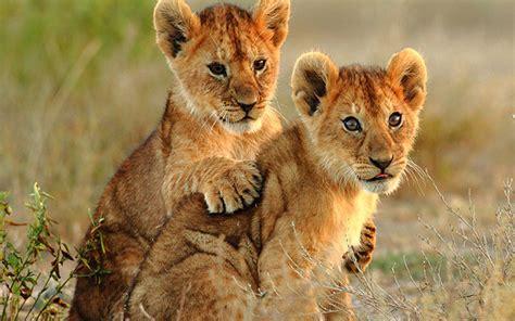 small lions cubs hd wallpaper  laptop