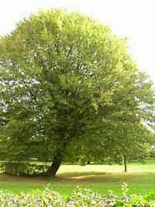 Hainbuche Baum Schneiden : carpinus betulus hainbuche wei buche g nstig kaufen ~ Watch28wear.com Haus und Dekorationen