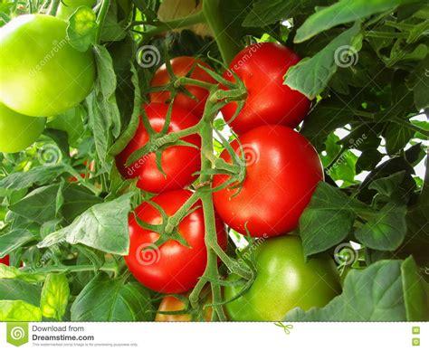 cuisiner les tomates vertes les tomates rouges et vertes sur bush photo stock image