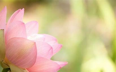 Lotus Flower Background Pink Desktop Wallpapers Backgrounds