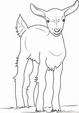 Goat Coloring Gambar Colorir Kambing Mewarnai Adult Desenhos Cabras Imprimir Goats Printable Belajarmewarnai Coloringpages101 Animals Template Sketch sketch template