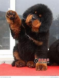 Tibetan Mastiff Dog Black