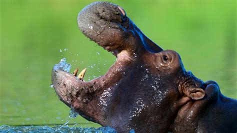 hippos pablo escobar hippo colombian colombia concern linked spark zoo attack chinese residents among town pet killed tourist