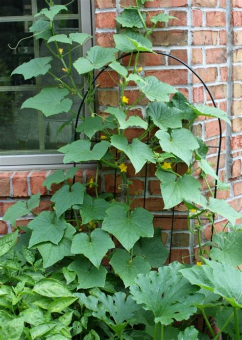 growing cucumbers on a trellis small space gardening grow cucumbers on a trellis oh