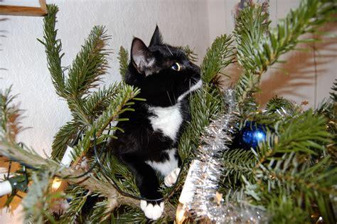 cats  christmas trees  pics
