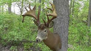 Huge Non Typical Whitetail Deer Mount that Sold on Ebay ...