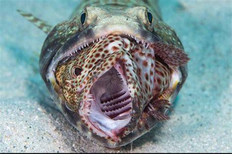 fish grouper eating lizard lizards lizardfish animals aquarium animal creatures
