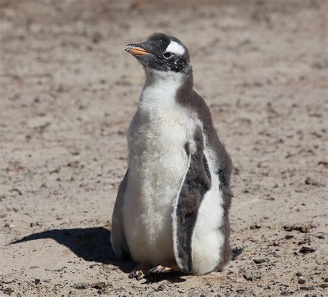 file gentoo penguin 5557175935 jpg wikimedia commons