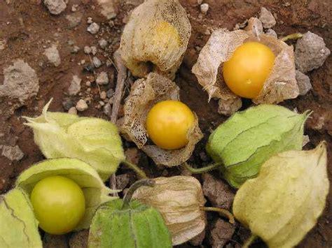 manfaat tanaman ciplukan judichung weblog