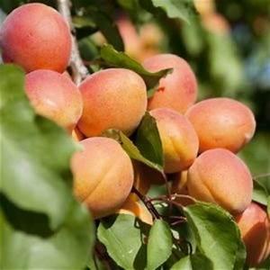 Arbre A Fruit : arbre a fruit a vendre scoooter gt ~ Melissatoandfro.com Idées de Décoration