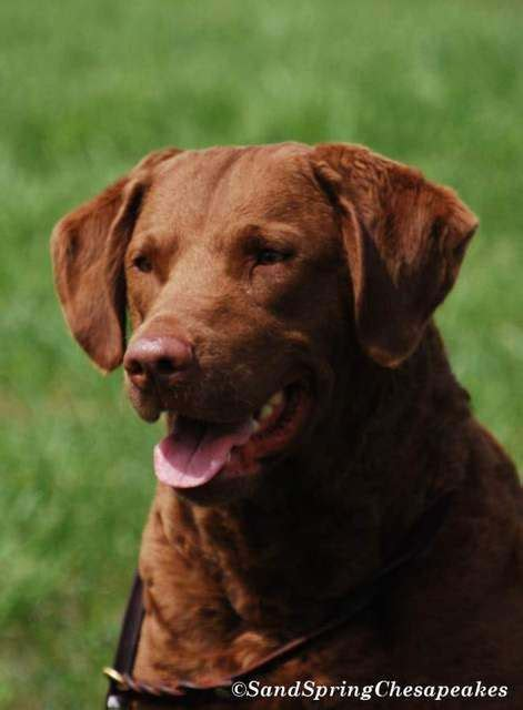 chesapeake bay retriever shedding 101 best quot chesapeake bay retriver quot images on