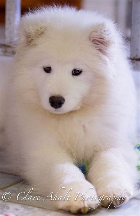 Samoyed Puppy 14 Weeks Puppies D Pinterest Chiot