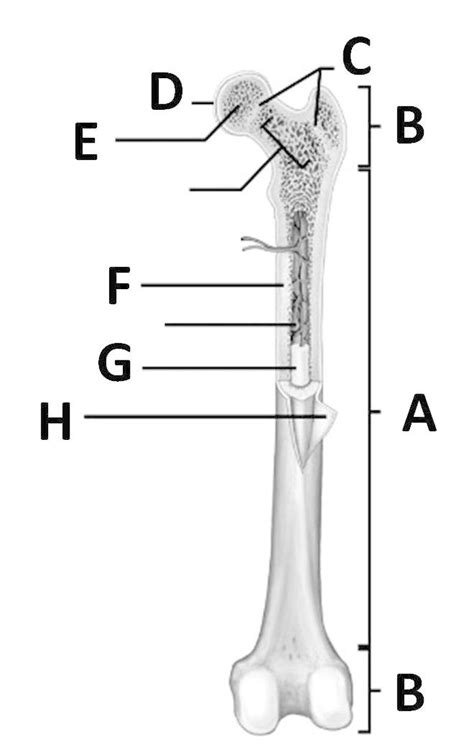 Label number 1 in the diagram indicates which part of the bone. Topic 5 - Skeletal System - StudyBlue