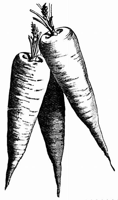 Vegetable Clipart Carrots Transparent Snips Clips